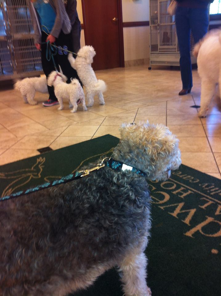 Wire Fox Terrier Rescue Midwest | Petfinder Foundation