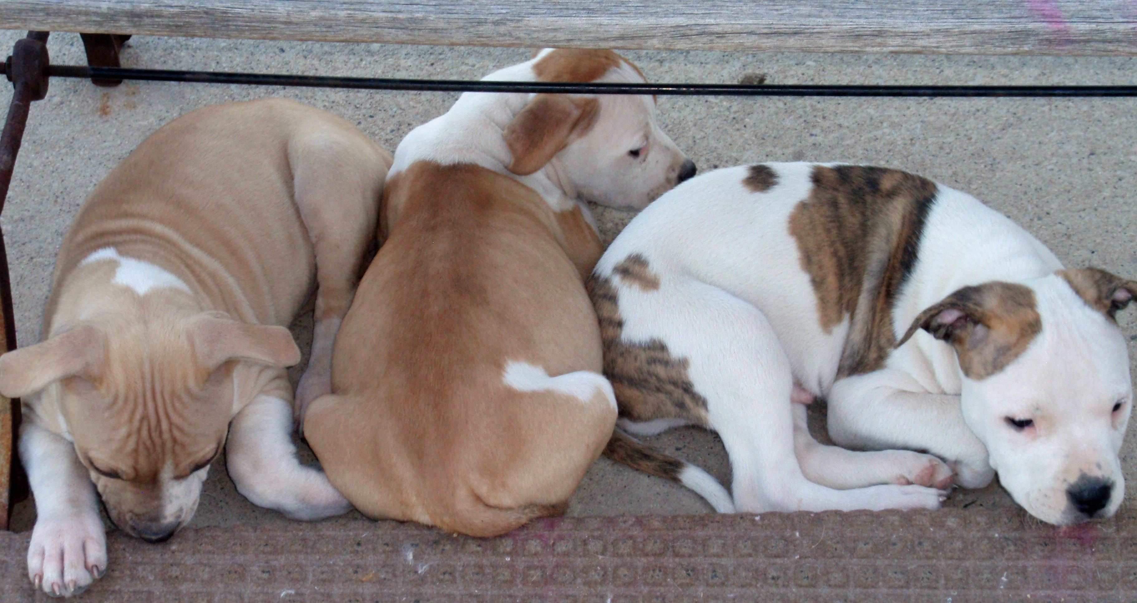 Four of Sunny's seven puppies; all are up for adoption at Utah Animal Adoption Center.