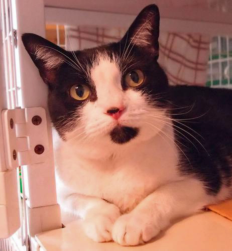 Ten-year-old Hannah is up for adoption at Shadow Cats.