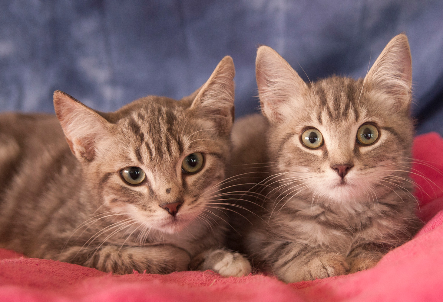 Preventing Euthanasia Through Rescue (Maine Coon Adoptions