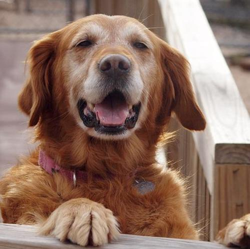 Charlotte (Photo: Delaware Valley Golden Retriever Rescue)