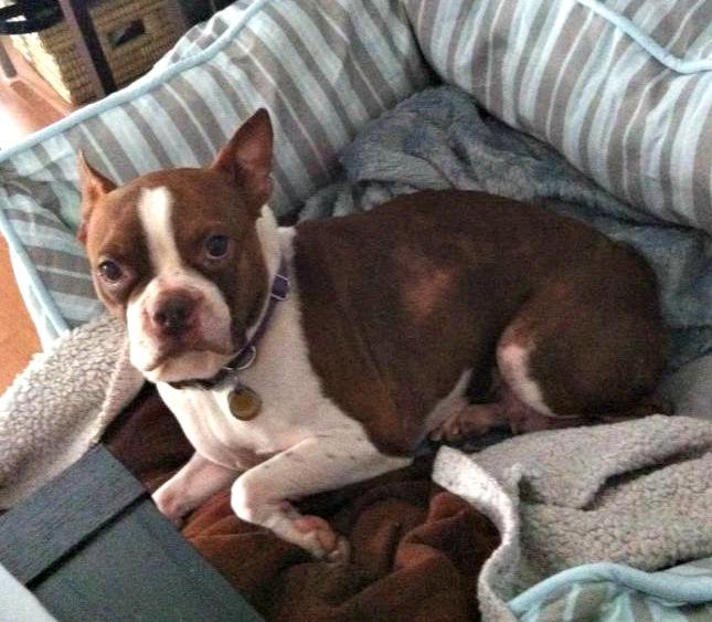 Mocha (Photo: Boston Terrier Rescue Canada)