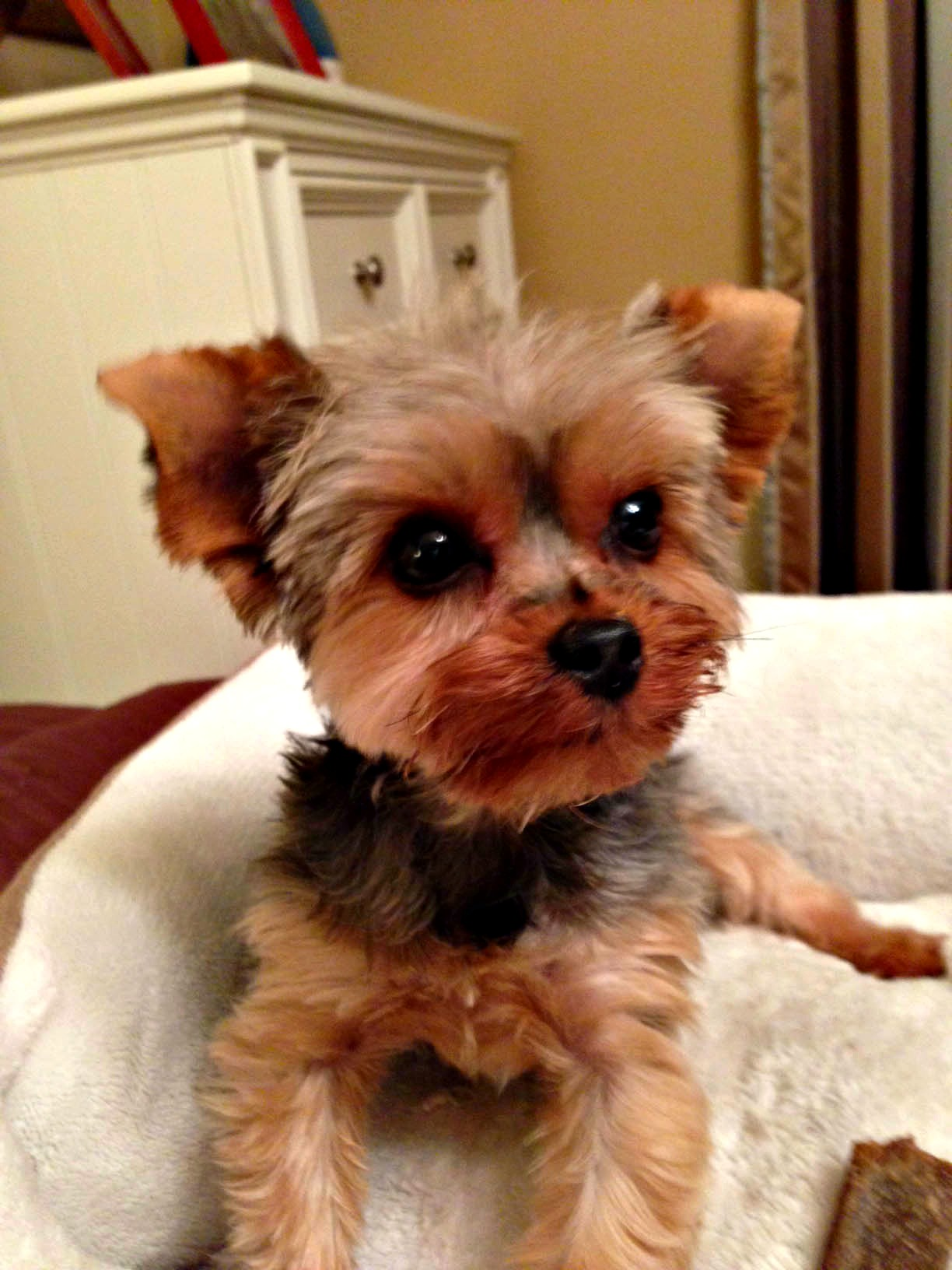 yorkie rescues save a yorkie rescue petfinder foundation 6240