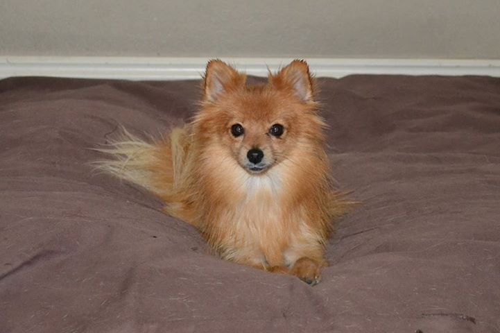 Recycled Pomeranians And Schipperkes Rescue Disaster Grant Report