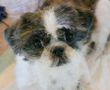 Shih Tzu Rescue Adoption Education Safehouse Straes