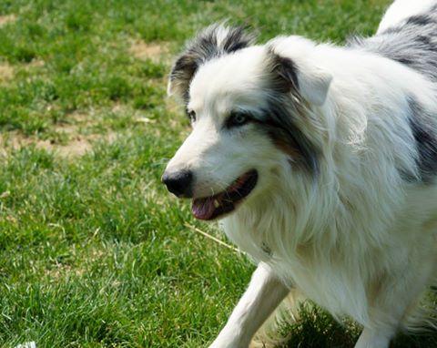 All Herding Breed Dog Rescue Petfinder