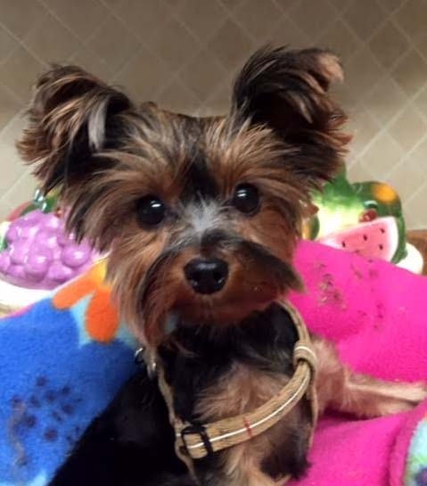 Save A Yorkie Rescue Sponsor A Pet Grant Report Petfinder Foundation