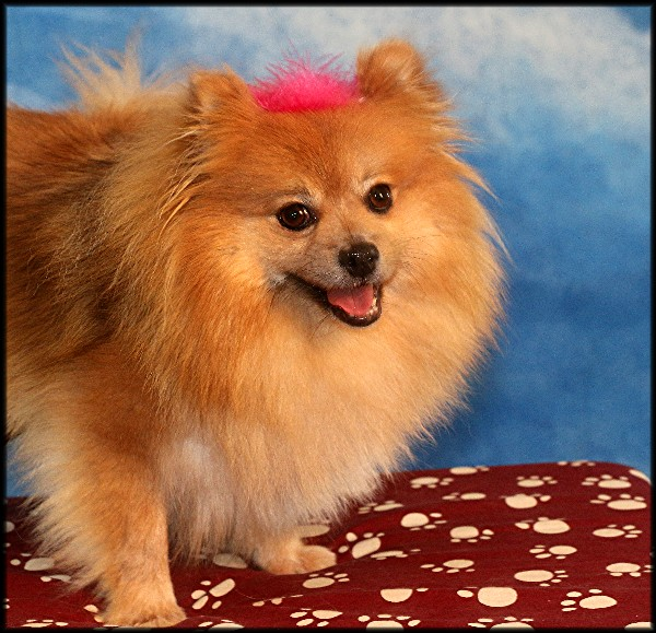 Recycled Pomeranians And Schipperkes Rescue Petfinder Foundation