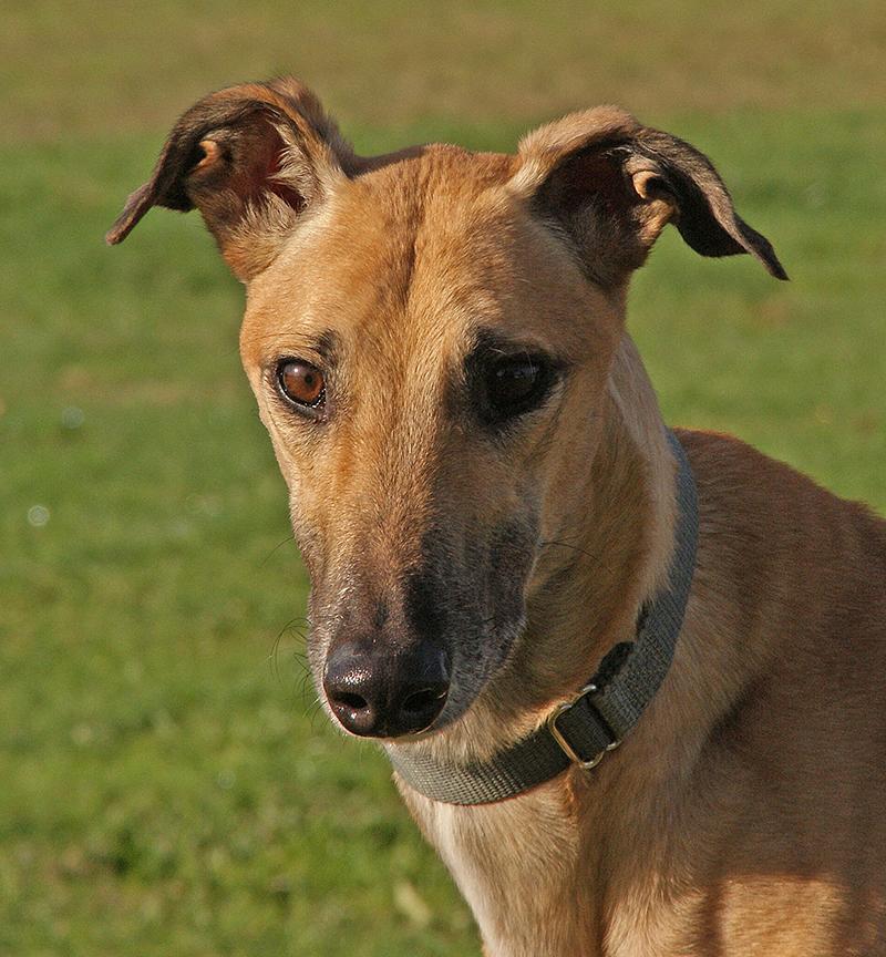 greyhound pet adoption northwest  all
