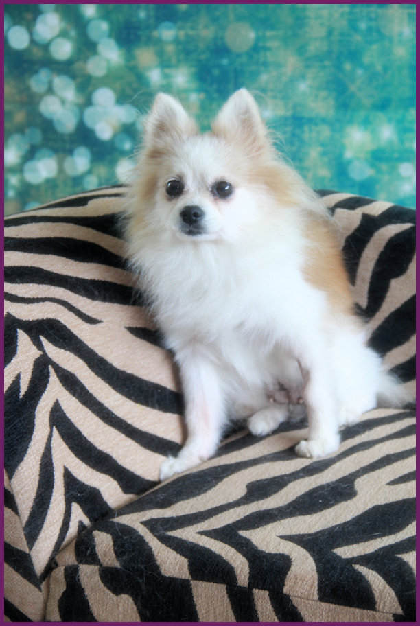 Recycled Pomeranians And Schipperkes Rescue Sponsor A Pet Grant